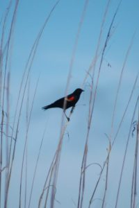 Red-winged blackbird sitting on tall grasses.