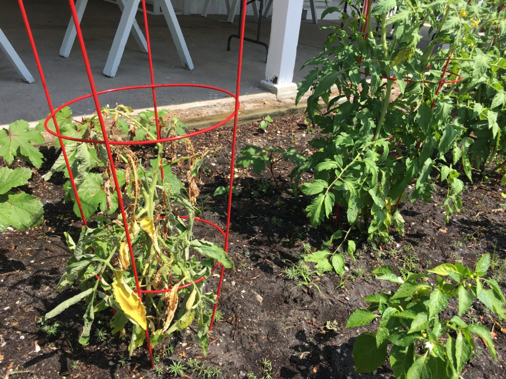 Two tomatoes the one on the left is struggling, the one on the right is healthy.