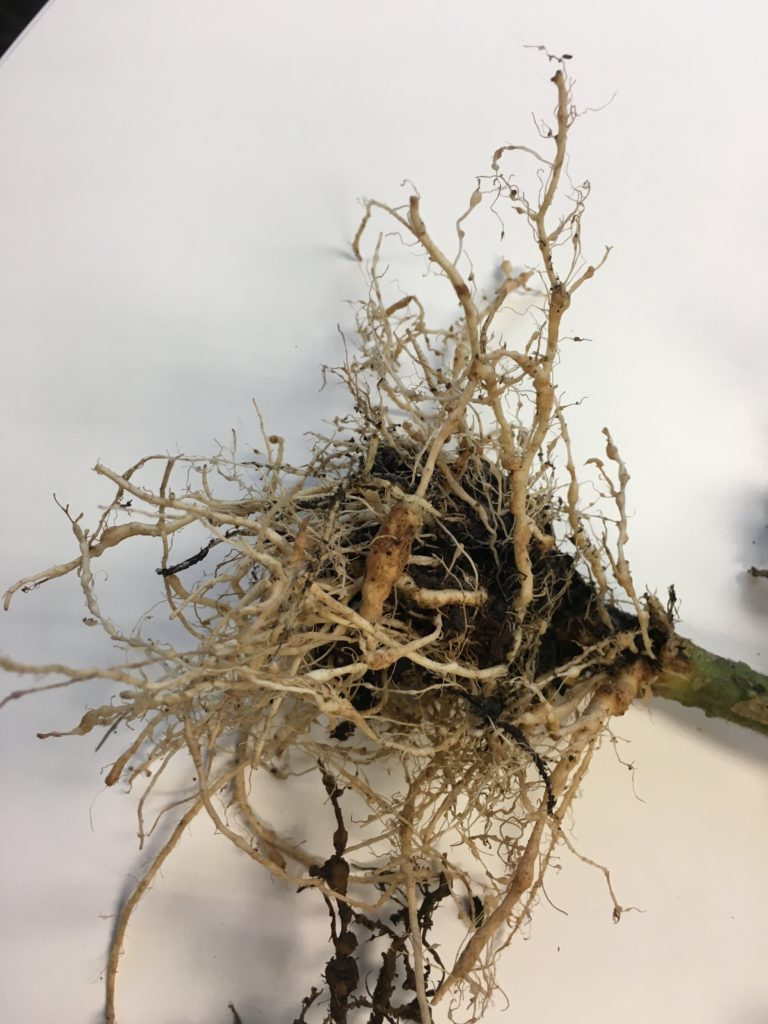 Tomato plant roots with nodules on the roots.