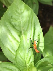 A red nymph of a milkweed assassin bug on the leaf of a basil plant.