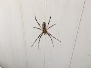 Black and yellow spider on it's web with a white background.