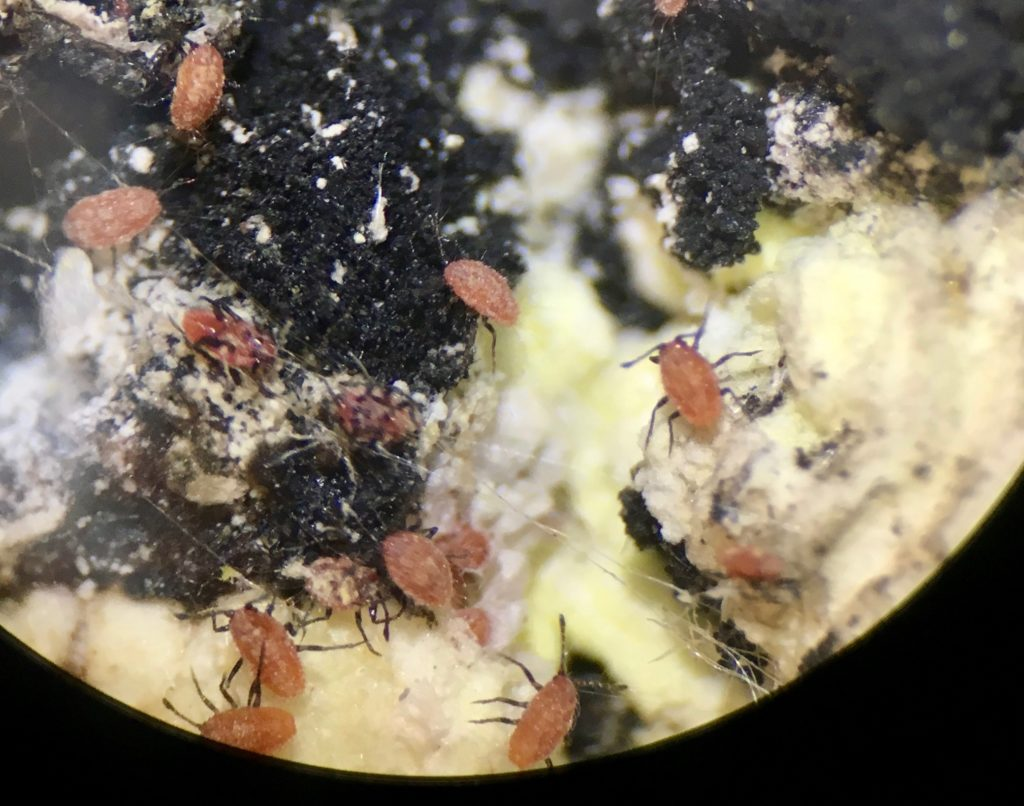 Crawlers of Cottony Cushion Scale insect