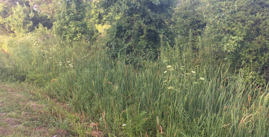 A picture of a roadside ditch with cattails, reeds, and several flowering water hemlock plants growing together.