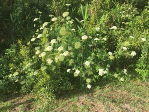 Water hemlock plant covered in umbels of white flowers growing on a ditch bank.
