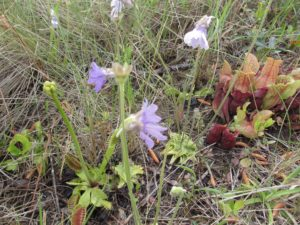 Photo by Tom Glasgow shows a venus flytrap, butterwort, parrot pitcher plant and sundews growing in the same small area. The sundews are a little harder to see, but they're in the bottom of the photo, slightly to the left of center. This would be early to mid May; the butterworts flower before the flytraps.