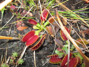 Photo of a venus flytrap by Tom Glasgow.