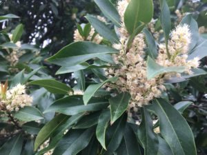 White flowers of Carolina cherry laurel