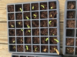 One tray of seedlings on March 30, 2020