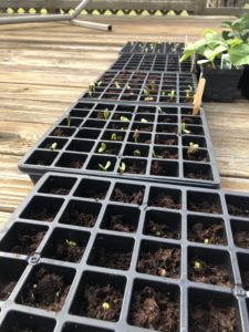 Trays of seedlings on March 30, 2020