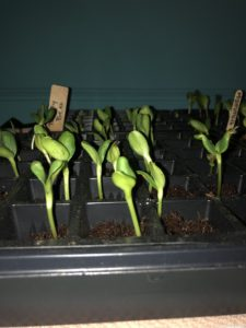 Tray of seedlings on April 1, 2020
