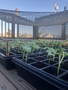 Mammoth Sunflower Seedlings on April 5, 2020