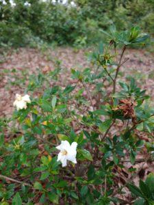 Photo of Gardenia with Deadheads