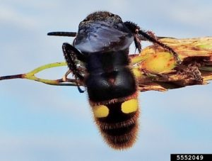 Scollid wasp