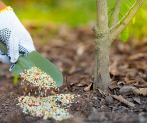 Applying fertilizer to tree base