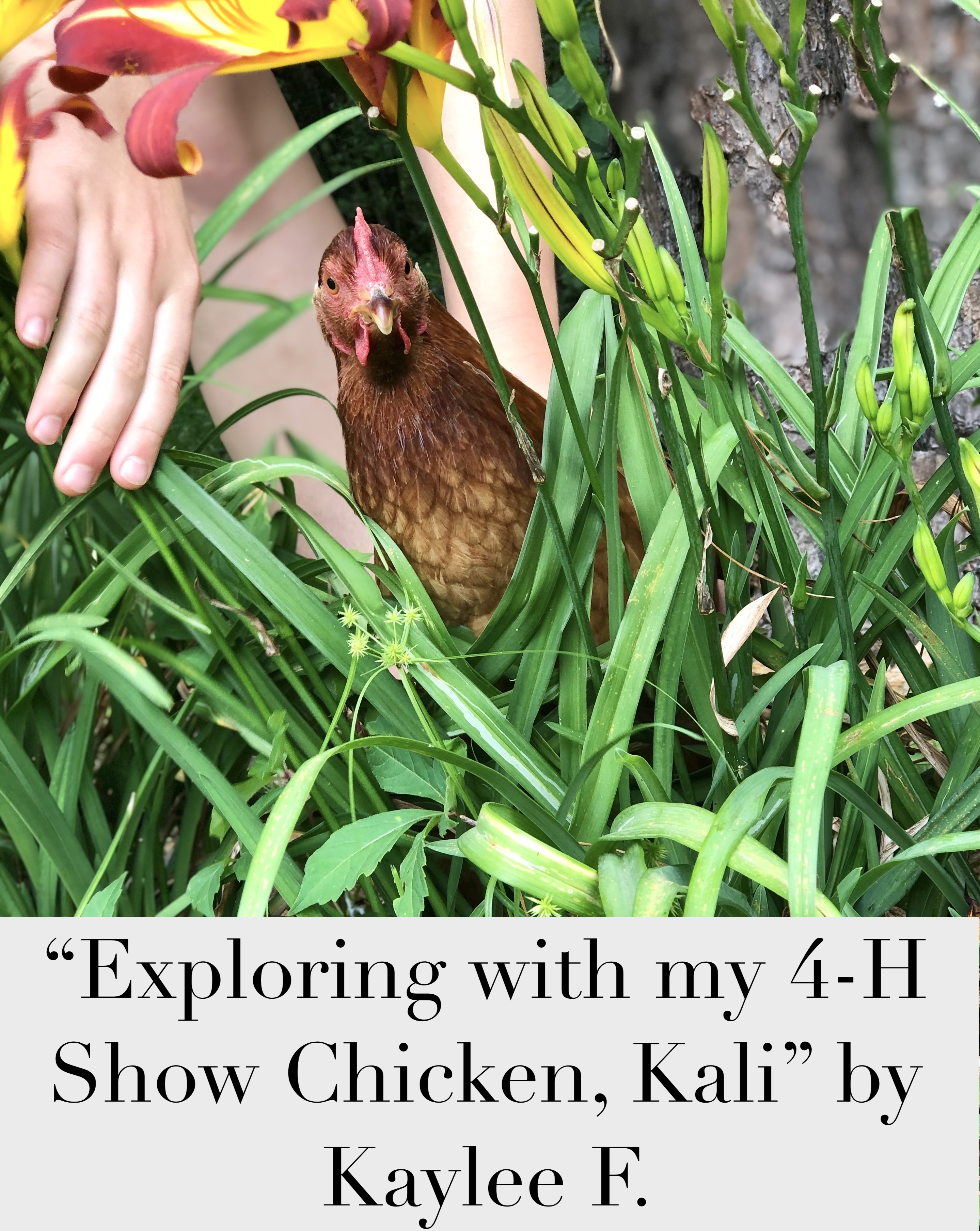 """2020 1st place Junior Division: Pets in Action """"Exploring with my 4-H Show Chicken, Kali"""" taken by Kaylee F."""