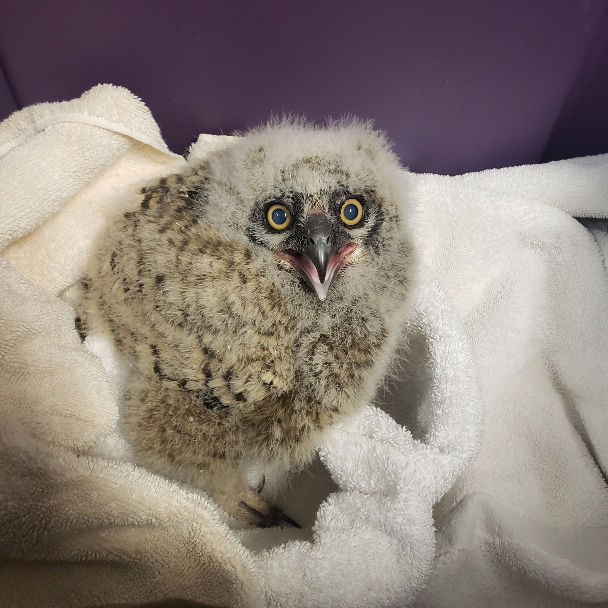 Owlet being cared for by Outer Banks Wildlife Shelter