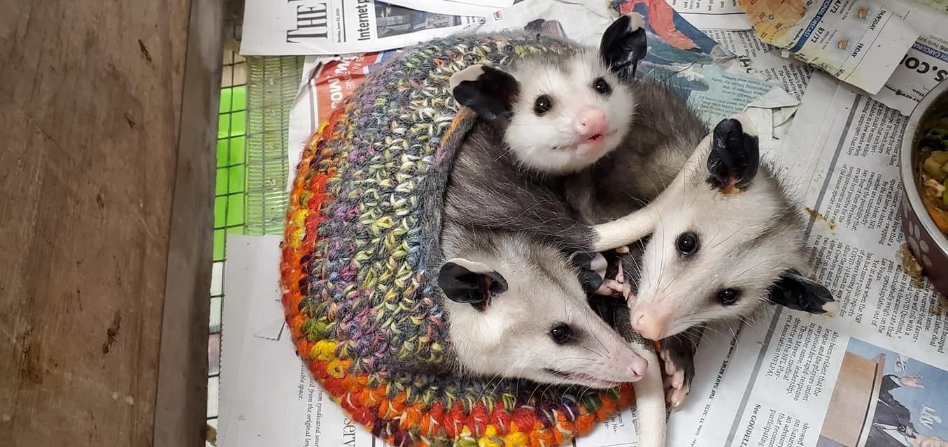 Opossum babies being cared for by Outer Banks Wildlife Shelter